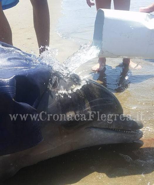 Licola, delfino si arena sulla riva della spiaggia libera